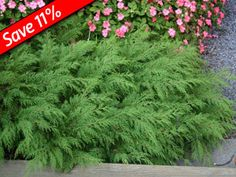 Siberian Cypress is an evergreen groundcover for sun or shade  - not bothered by insects of diseases, tolerates dry poor soil