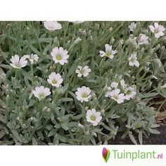 Viltige hoornbloem (Cerastium tomentosum 'Columnae')