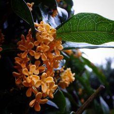 おはよーございます。  雨上がり。 チビチビ十字架たちが 世界を甘い匂いだらけにして。  晴れてきそうです。   #sky #autumn #flower #空 #秋 #花