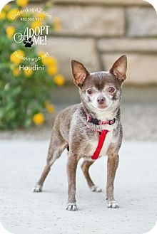 Chandler, AZ - Chihuahua. Meet HOUDINI, a dog for adoption. http://www.adoptapet.com/pet/15671699-chandler-arizona-chihuahua
