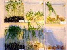 La germination des graines