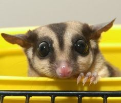 Sugar Glider, small nocturnal marsupial, spends almost it's entire life in trees.