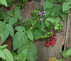 Bittersweet Nightshade:  Invasive and Noxious Weed.  All parts of plant are toxic when ingested.