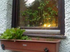 Pflücksalat, Petersilie und Schnittlauch am Fensterbrett - der beste Platz in meinem Gemüsegarten Aquarium, Window Sill, Parsley, Boards, Trees, Aquarius, Fish Tank