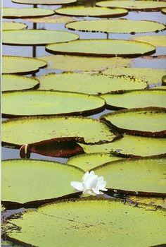 Loto del Amazonas. Crece en aguas poco profundas, enraizada en el lecho del pantano de gigantescas hojas flotantes que abre su flor en la superficie y madura su fruto bajo el agua.