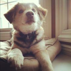 husky + border collie mix puppy!!!