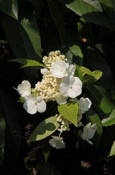 4 x 12m (slow)  Hydrangea seemannii | /RHS Gardening