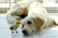"""* * DUCKLING: """" Me don'ts knowz if yoo evers noticed dis, but first impressions often beez entirelys wrong."""""""