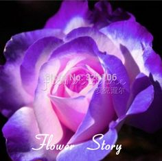 Free shipping  20 Blue and Pink Rose Seeds ,rare color ,rich aroma, DIY Home Garden Rose Plant crazy promotion  $0.99 / lot