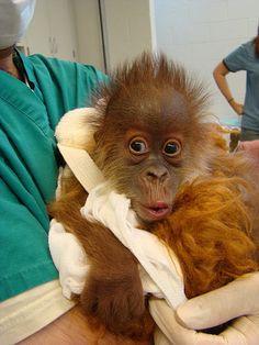 Menari, a baby Sumatran orangutan born at the Audubon Zoo in New Orleans http://www.auduboninstitute.org/