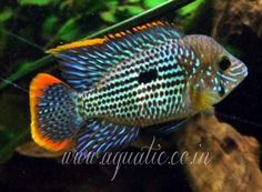 The Green Terror - Aequidens rivulatus is a South American Cichlid originating in still waters in Peru and Ecuador. Subspecies include the g...