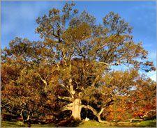 The Granby Oak again