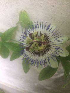 Il fiore di Passiflora