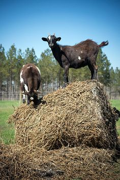 Bonus Photos from our August/September Issue. Two Lowcountry goats fill up on lunch. (Photo Imke Lass)