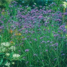 Verbena Bonariensis Seeds - Irish Plants Direct