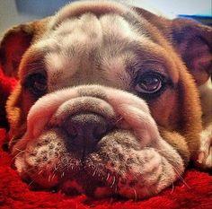 Louie the English Bulldog