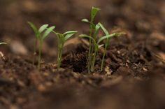 crowded-seedlings