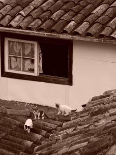 """Os gatos estão a ter uma """"Festa da Cumeeira!"""""""