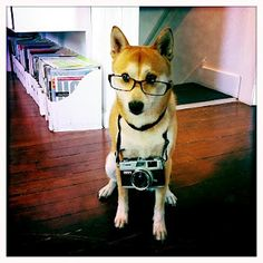 The shiba inu of my life... seppy!