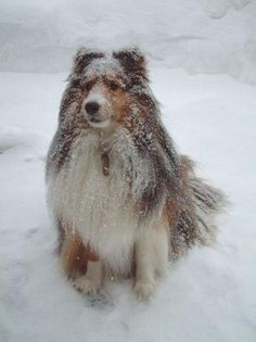 Snow and more snow!!  Shelties love it!!