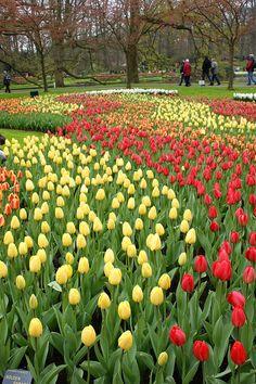 Tulip Golden Parade, Keukenhof, The Netherlands (spring 2012).  Photo: KarlGercens.com, via Flickr