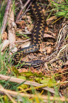 Vipera berus - Britain's only venomous snake.