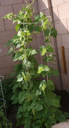 Patio Garden idea. Growing green beans on a tomato cage