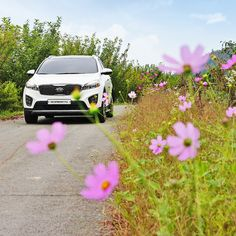 Let's leave all of a sudden! Cosmos will lead you🌸 - 코스모스 길 따라 훌쩍 떠나봐요 - #cosmos #flowers #autumn #sudden #leave #dontworry #drive #travel #Yangyang #Korea #carsofinstagram #SUV #SORENTO #KIA