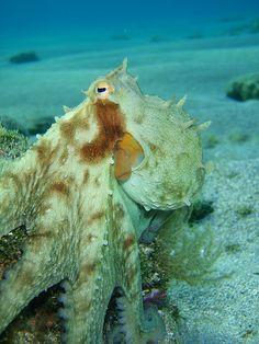 octopus. #octopodes
