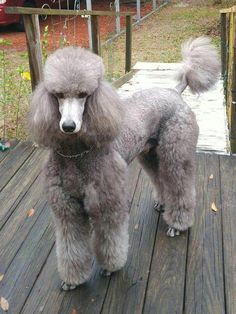 Find Out More On The Poodle Dogs SizeYou can find Standard poodles and more on our website.Find Out More On The Poodle Dogs Size Positive Dog Training, Basic Dog Training, Training Dogs, Poodle Grooming, Dog Grooming, Cortes Poodle, Silver Poodle, Poodle Cuts, Pet Dogs