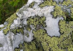 Rhizocarpon geographicum on quartz - Flechte – Wikipedia Flora, Herbs, Plants, Pictures, Fungi, Archaeology, Minerals, Surface, Dating