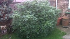 Couple escape long prison spell after being caught in possession of huge Cannabis plant.