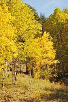 Rampart Rd in Woodland Park, Colorado Yellow Aspen
