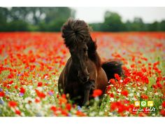 ponies and poppies