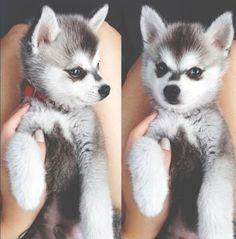 Baby puppy husky