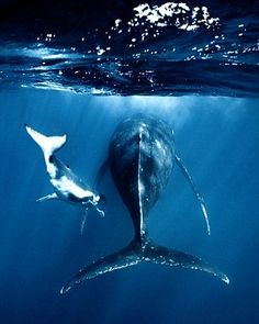 """""""I had a totally unreal moment when a 4 meter humpback calf about months old was going straight towards me. All Sharks, Types Of Sharks, Under The Ocean, Whale Art, Water Animals, Wale, Water Life, Ocean Creatures, Marine Biology"""