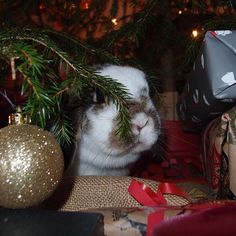 Merry Christmas 💋🎉❤ sorry my picture came up late but my PC troubled. 😭 #Bunny #Bunnies #Rabbit #Rabbits #Bunnylove #Rabbitlove #BunnyRabbit #Bunnyofinstagram #Bunniesofinstagram #Bunnyinstagram #Bunnyinsta #Instabunny #Bunniesofig #Bunnystagram #Bunnyworld #Bunnyoftheday #Bunniesoftheworld #Rabbitworld #Bunniesworldwide #Rabbitsworldwide #Pet #Pets #Petofinstagram #Petsagram #Animal #Minilop #Bunnyaccount #Rabbitaccount #Animalaccount  Check my partners ❤️❤️❤️