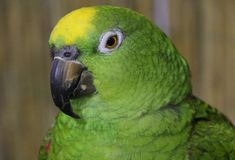 Common causes of flaky beaks in pet birds and how to ensure a healthy beak.