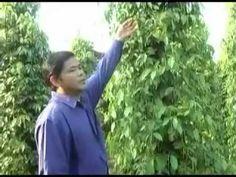 Cambodia Agriculture: Black Pepper Farming with SoilBio1 Fertilizer