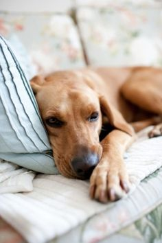 Has anyone else noticed that Ridgebacks are always on the furniture with pillows?  Lazy, lazy dogs...love them.