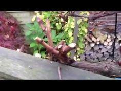 SNOEIEN VAN DE DRUIF uit de serie van Mijn Tuingeheim - YouTube