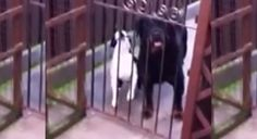 """That's SO Funny!! This Boston Terrier dog will bark """"Hello!"""" if you say """"Hello!"""" to him! Watch ► http://www.bterrier.com/?p=28328 - https://www.facebook.com/bterrierdogs"""