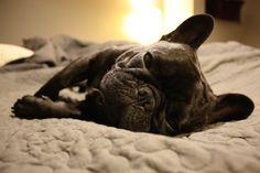 Sleepy Frenchie.