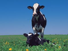 Holstein Cow and Calf