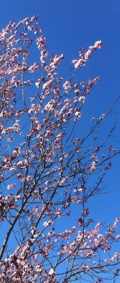 Cherry trees, blue skies and Spring time! #snoqualmie #springtime http://www.realfx.com/
