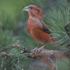 Scottish Crossbill - The most striking feature of this bird is its crossed mandibles when its bill is closed
