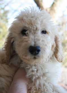 mixed poodle breeds - Google Search Poodle, Future, Google Search, Dogs, Animals, Future Tense, Animales, Animaux, Animal Memes