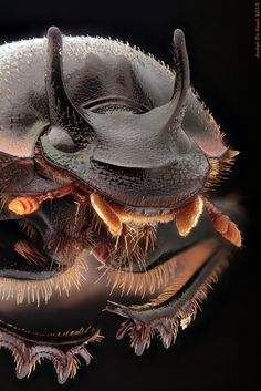Two-horned Dung Beetle under a Componon-Raynox combination - Tiere & Lebensstil Weird Creatures, Sea Creatures, Macro Fotografie, Foto Macro, Micro Photography, Cool Bugs, Macro And Micro, Beautiful Bugs, Beautiful Pictures