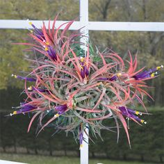 I love tillandsias, I need one to put on my desk at work next to my jade plant.