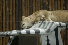 "free photo ""Sleeping lioness"" from free photo search engine everystockphoto.com"
